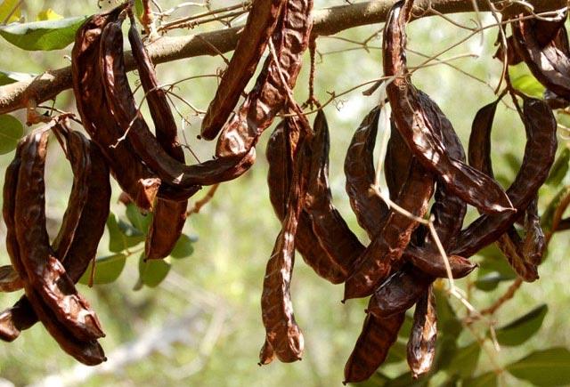Keçibuynuzu bitkisinin unikal müalicə xüsusiyyətləri